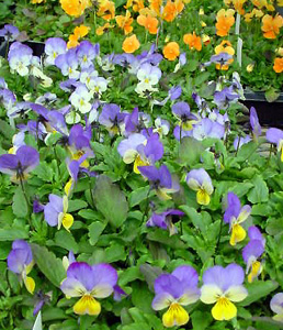 Horned Viola – Viola cornuta