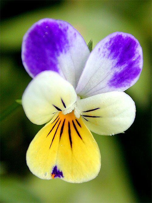 Wild Pansy – Viola tricolor