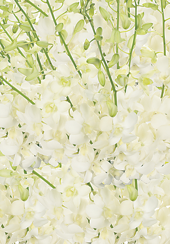 White Dendrobium Orchids - Calyx Flowers, Inc