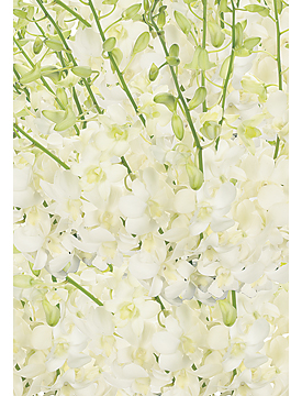 White Dendrobiums are available in our Weddings & Events gallery.