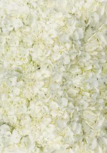 whitehydrangeawe_lg-453x650