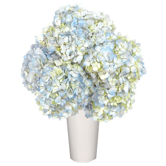 MAY - Blue Hydrangea