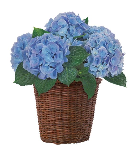 Apr - Hydrangea Plant