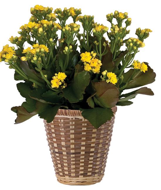 Aug - Kalanchoe Plant (Grower's Color Choice)