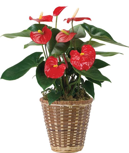Dec - Anthurium Plant