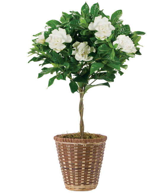 Feb - Braided Gardenia Topiary Plant