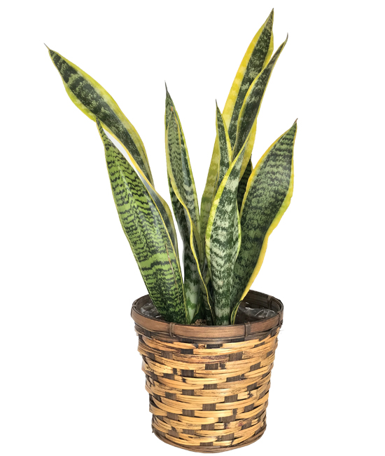 Jul - Sansaveira Plant