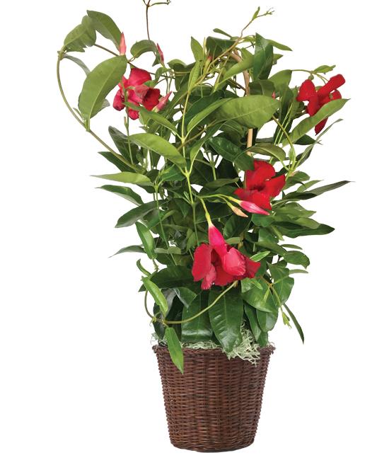 Jun - Mandevilla Plant