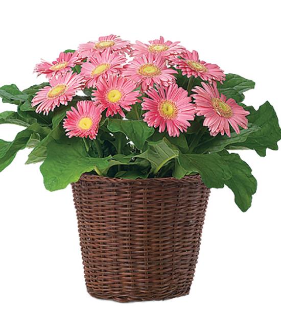 Mar - Gerbera Plant (Grower's Color Choice)