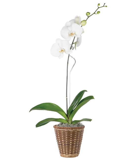 May - White Phalaenopsis Orchid