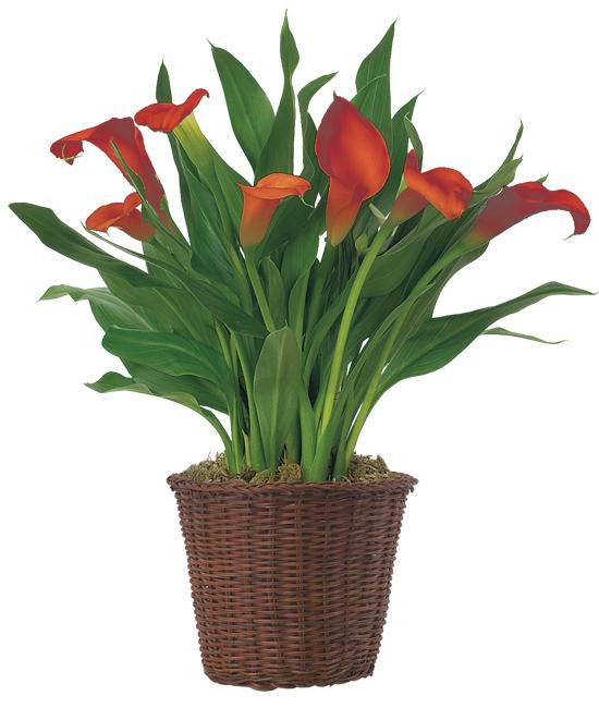 Nov - Orange Calla Lily Plant