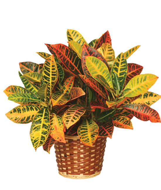Oct - Croton Plant