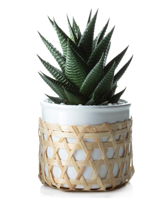 Apr - Kaare Succulent Plant