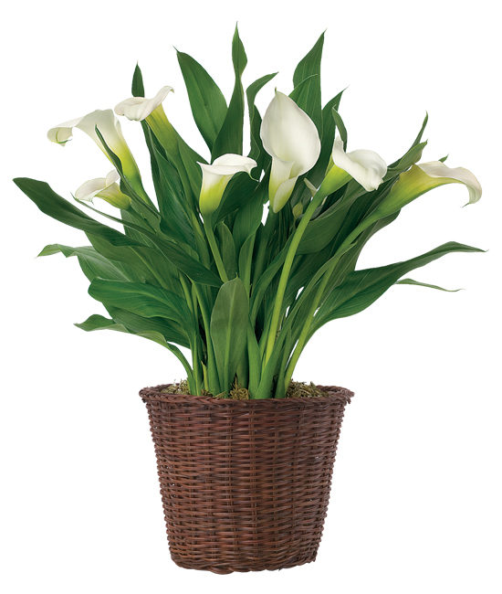 Dec - White Calla Lily Plant