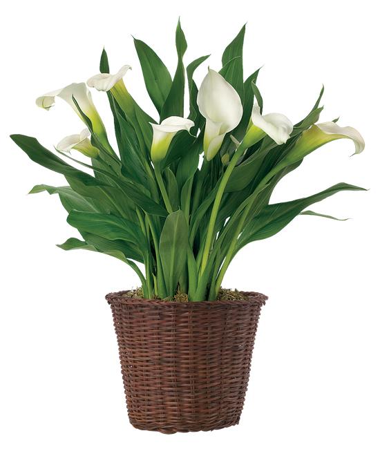 Dec - White Calla Lily Plant
