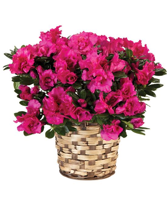 Feb - Pink Azalea Plant