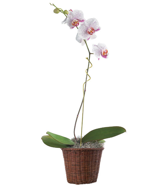 Jan - Spotted Phalaenopsis Orchid Plant