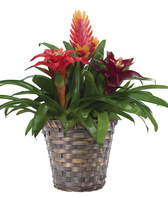 Jul - Triple Bromeliad Garden