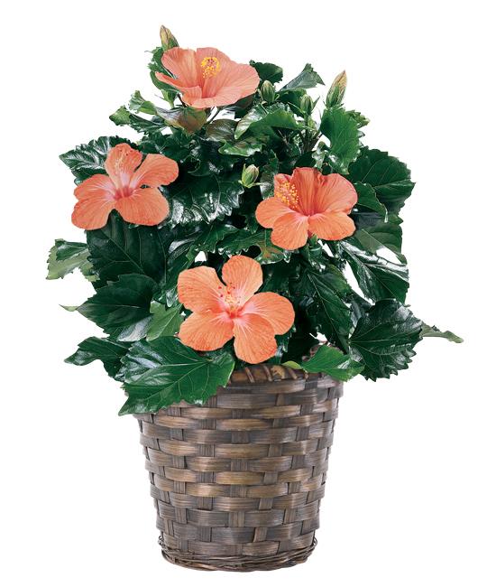 Jun - Hibiscus Plant