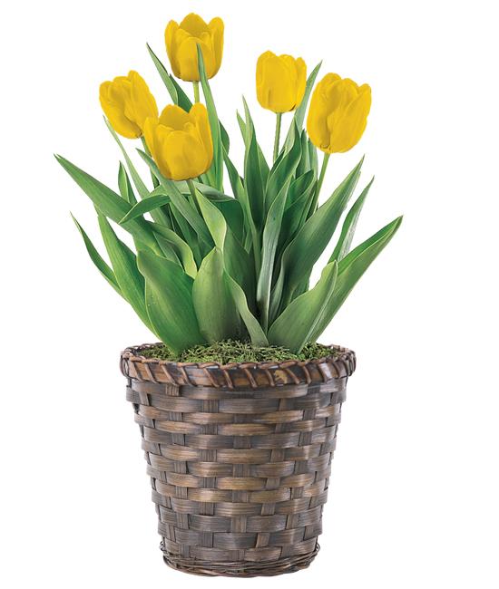 Mar - Tulip Plant