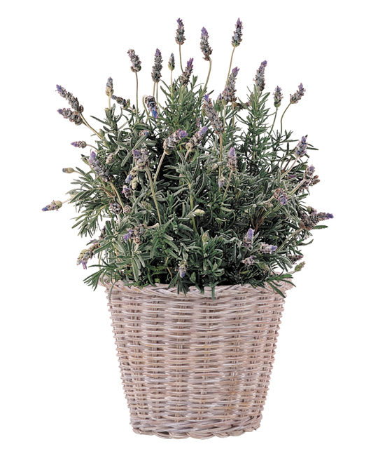 May - Lavender Plant
