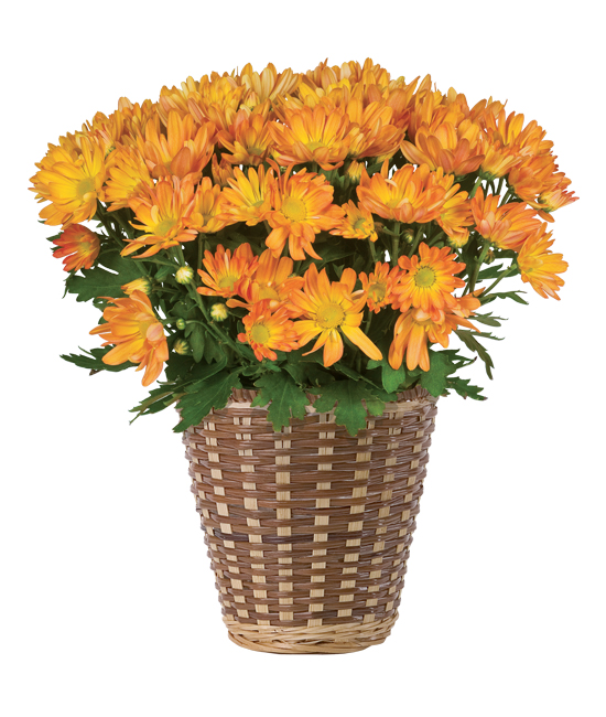 Oct - Orange Mum Plant