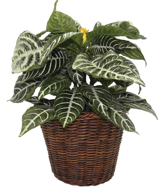 Sep - Zebra Plant