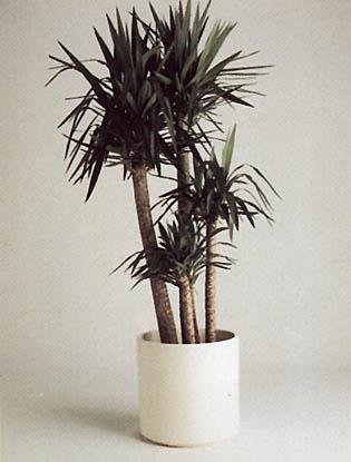 Dagger Plant – Yucca aloifolia, Y. elephantipes and Y. spp.