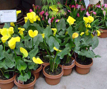 Calla Lily – Zantedeschia rehmannii, Z. aethiopica, Z. spp.