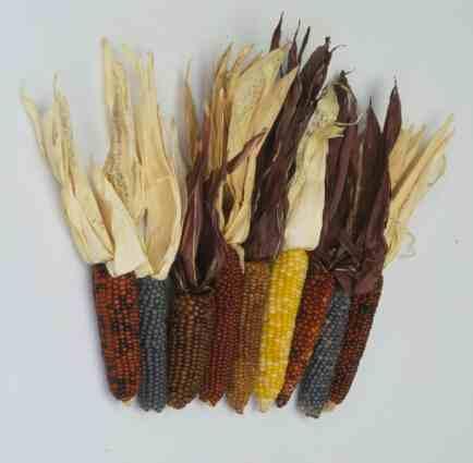 Corn – Zea mays